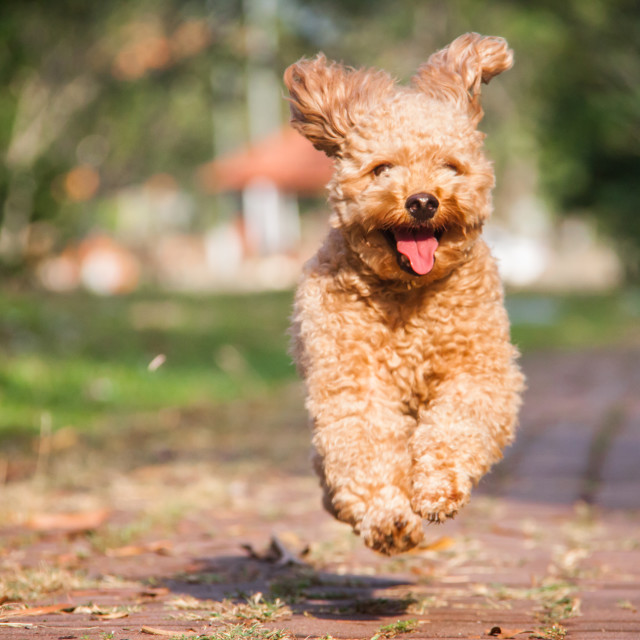 """""""Smiling brown poodle dog happily running in the park."""" stock image"""