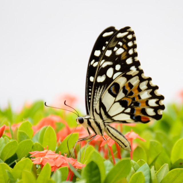 """Panoramic Butterfly"" stock image"