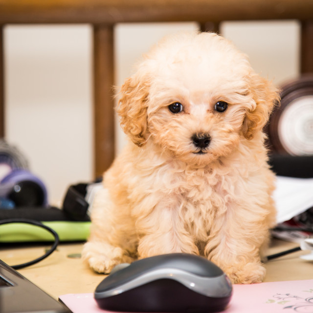 """""""Cute poodle puppy sitting on office desk next to laptop computer"""" stock image"""