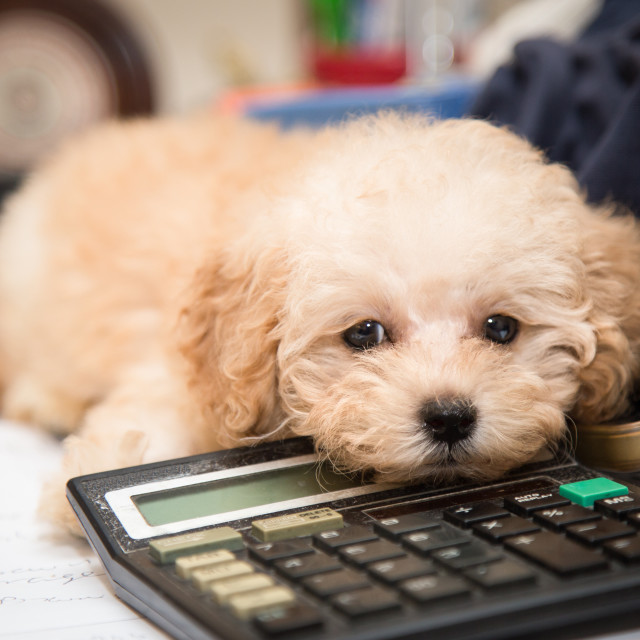 """Cute poodle puppy resting on a calculator placed on messy office"" stock image"