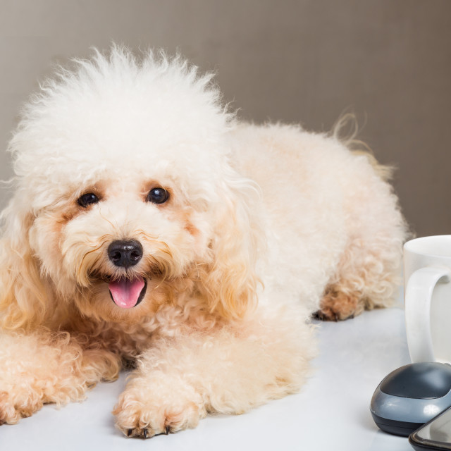 """Cute poodle puppy resting on office desk with laptop computer"" stock image"