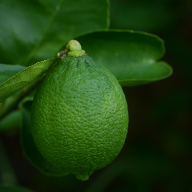 """Natural Lime Fruit"" stock image"