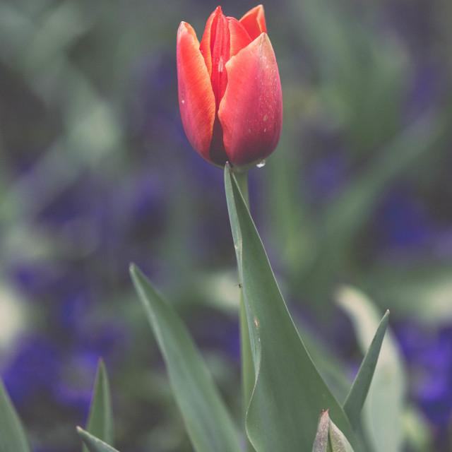 """Spring Tulip"" stock image"