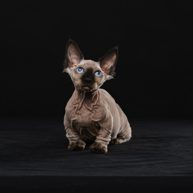 """Sphynx cat"" stock image"