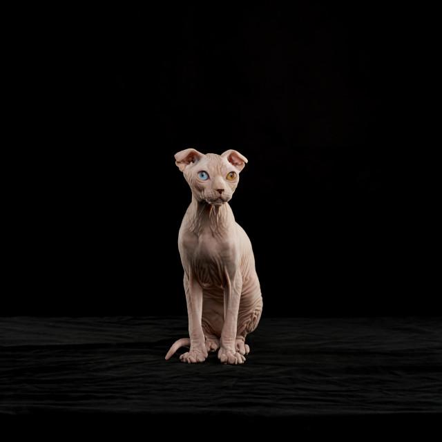 """Sphynx cat"" stock image"