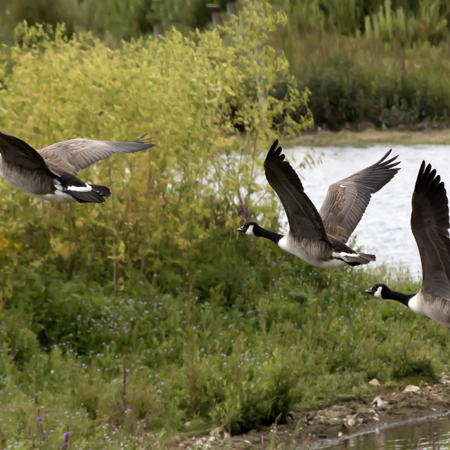 """Canada Geese."" stock image"