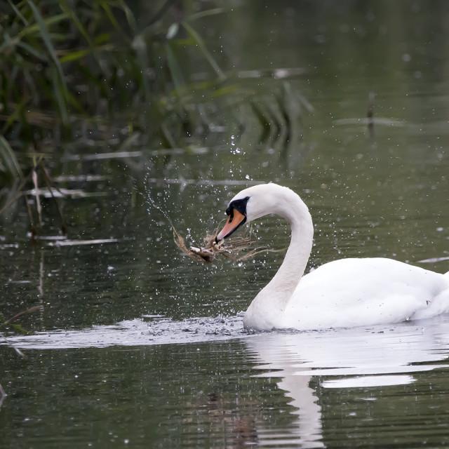 """Playful Swan 2."" stock image"