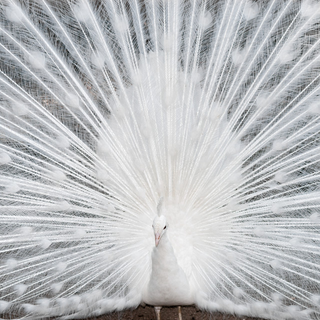 """white peacock close up"" stock image"