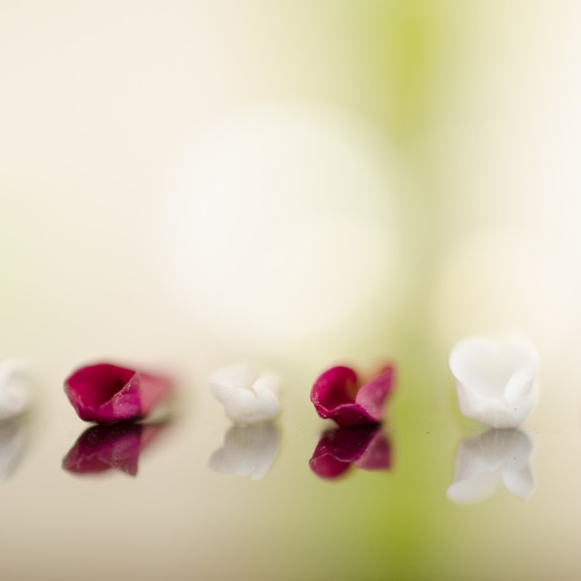 """""""Petals all in a row"""" stock image"""