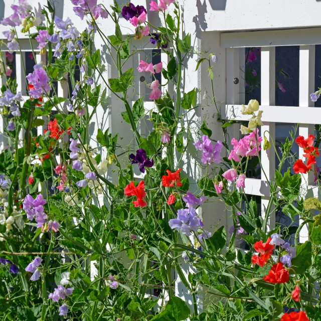 """Sweet pea flowers"" stock image"