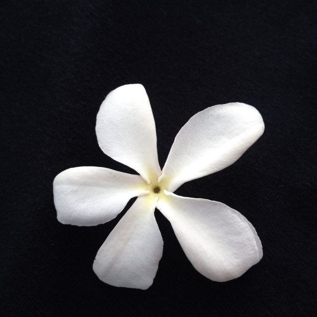 """White Flower Blossom"" stock image"