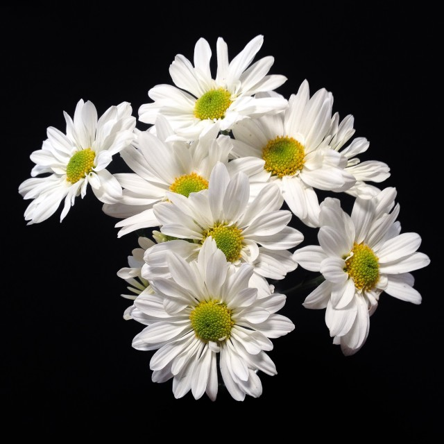 """Daisies bouquet"" stock image"