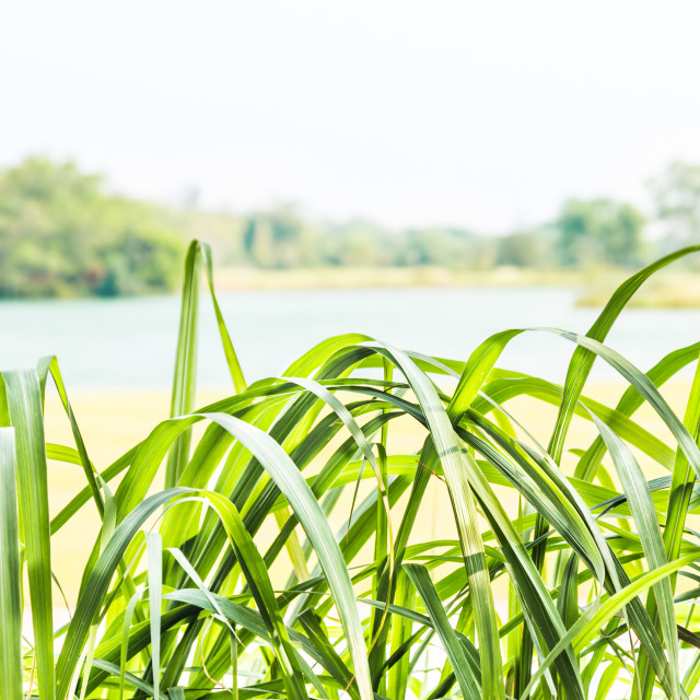 """Lemongrass with serene lake and sky"" stock image"