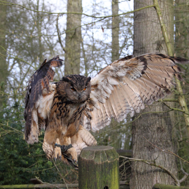 """European Eagle Owl bubo bubo"" stock image"