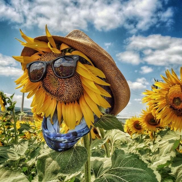 """Happy Sunflower"" stock image"