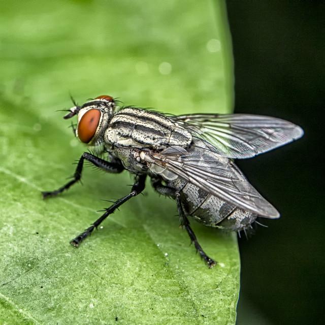 """""""Housefly"""" stock image"""