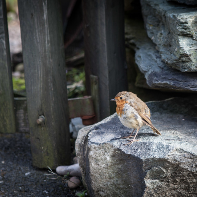 """""""Robin on a Rock"""" stock image"""