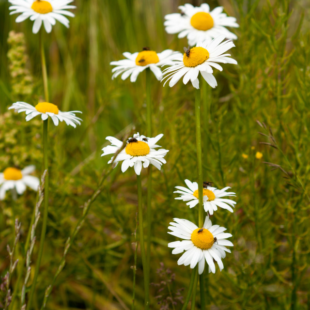"""Oxeye daisies"" stock image"