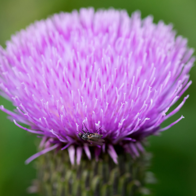 """""""Fly on thistle"""" stock image"""