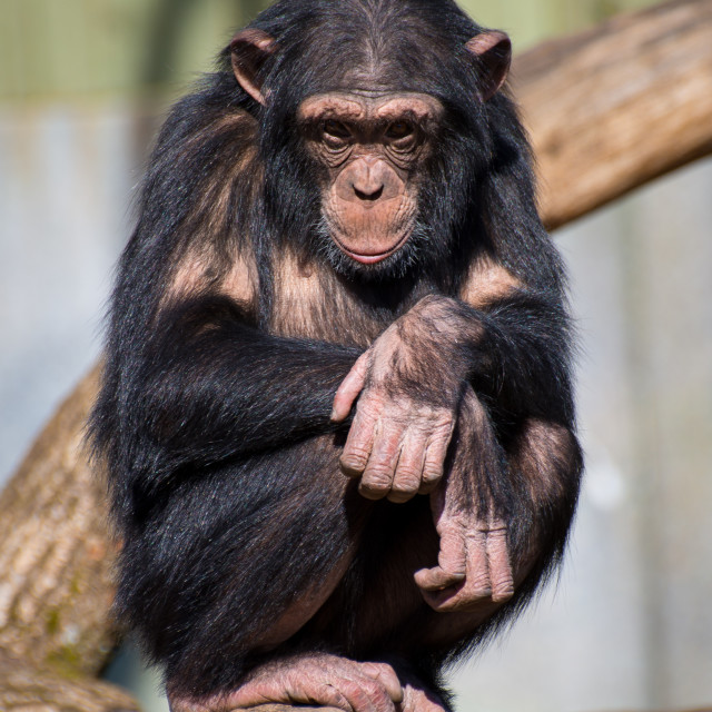 """Chimpanzee at the Zoo"" stock image"
