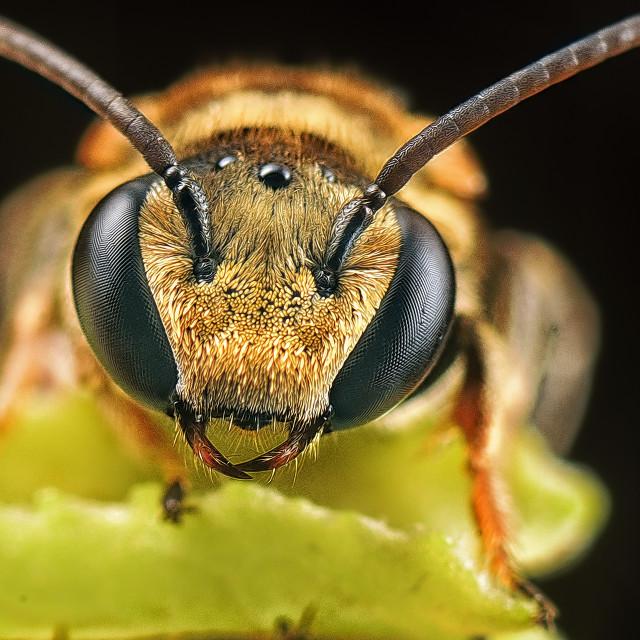 """sweat bee"" stock image"