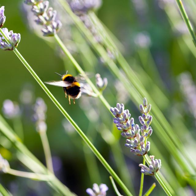 """Bee in mid-flight"" stock image"