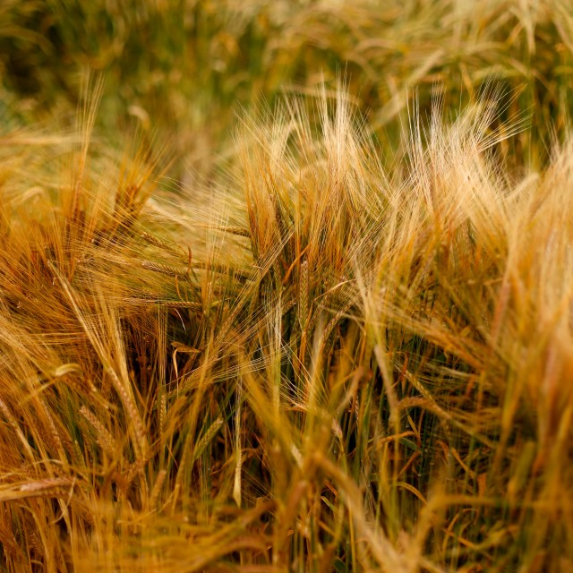 """Soft Warm Barley Crop Plant Texture"" stock image"