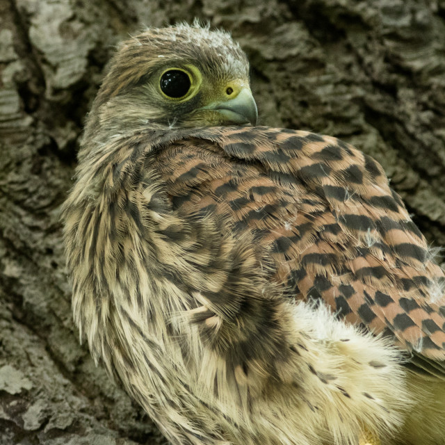 """Kestrel Chick"" stock image"
