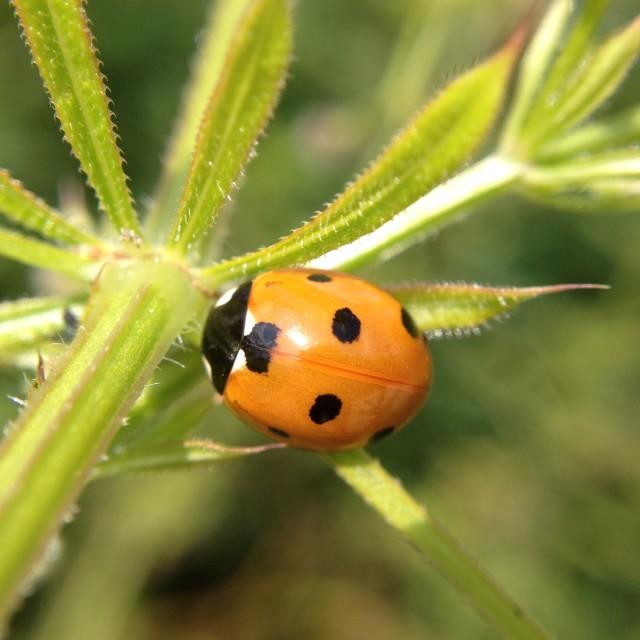 """Ladybird on a leaf"" stock image"