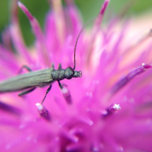 """""""Beetle on a thistle"""" stock image"""