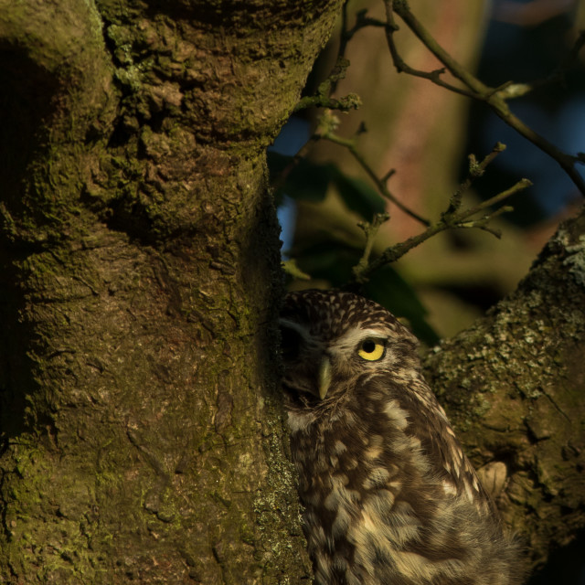 """Little owl peeping"" stock image"
