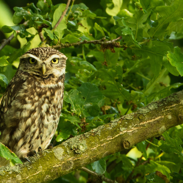 """Little owl on branch"" stock image"