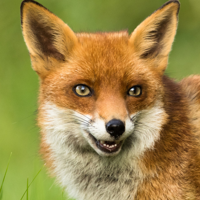 """Foxy lady"" stock image"