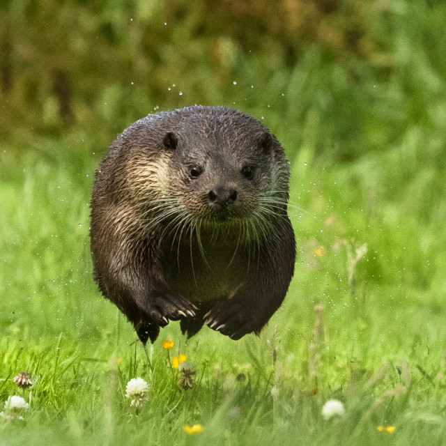 """A sprinting otter"" stock image"