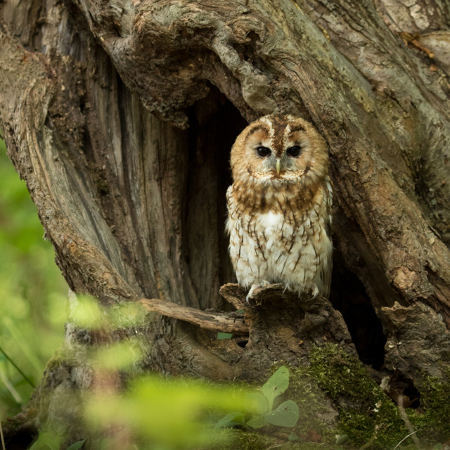"""Tawny owl in tree"" stock image"