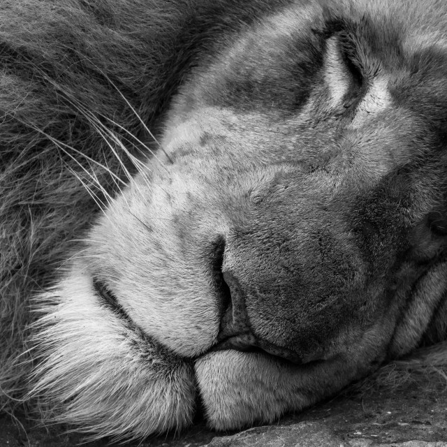 """sleeping white lion"" stock image"