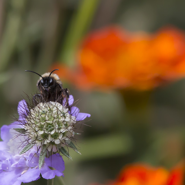"""Bee on Flower. 1."" stock image"