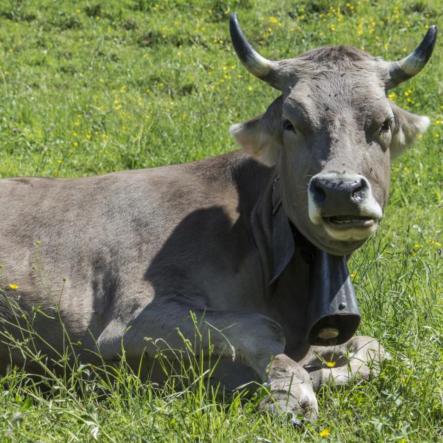 """Swiss Cow"" stock image"