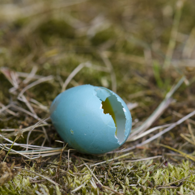 """Broken egg fallen out of nest"" stock image"
