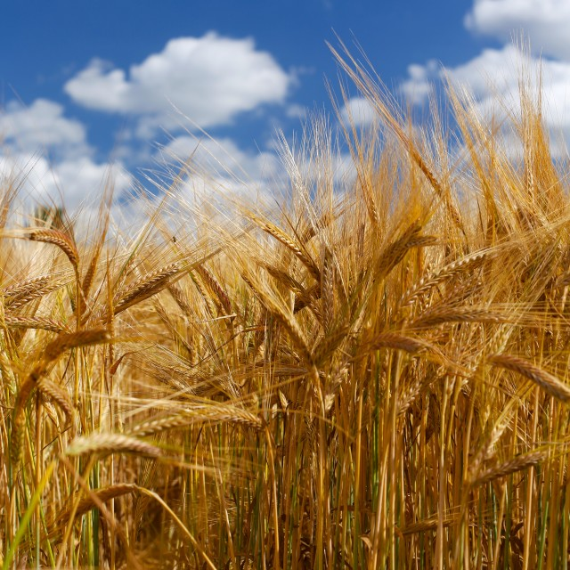 """Tall Wheat Barley Crop Plants with Blue Sky"" stock image"