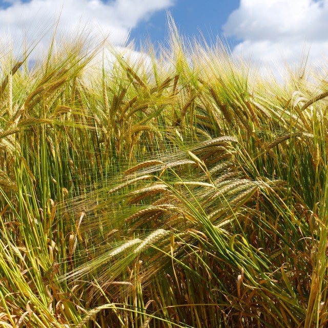 """""""Soft Barley Crop Plants with Blue Sky"""" stock image"""