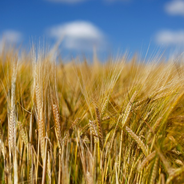 """Soft Barley Crop Plants with Blue Sky"" stock image"