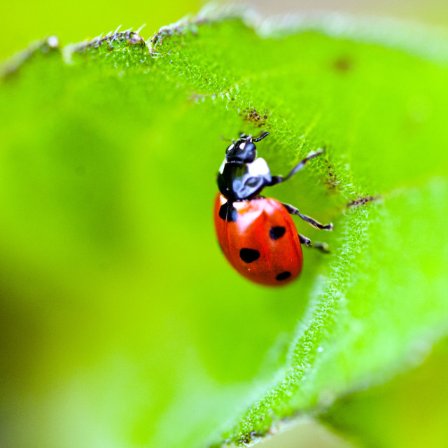 """Ladybird on leaf"" stock image"