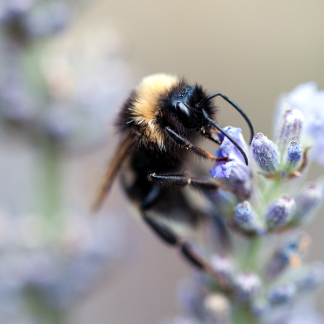 """""""Close up of Bee on lavender flower"""" stock image"""