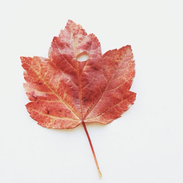 """Maple Leaf"" stock image"