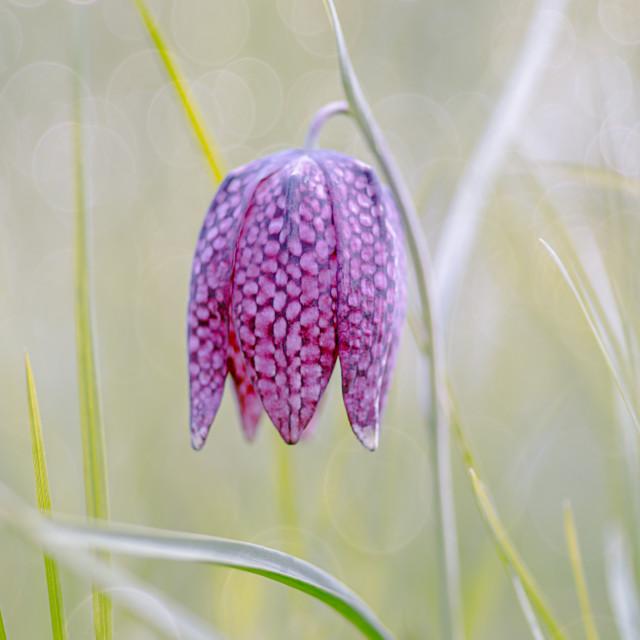 """Fritillaria Flower"" stock image"