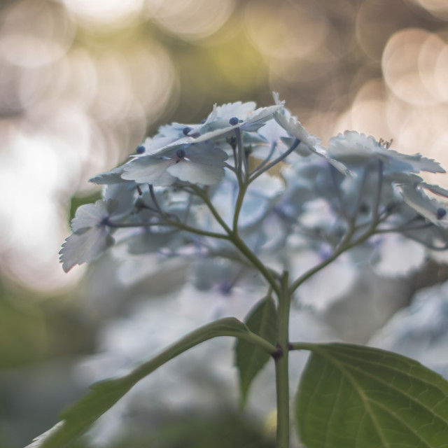 """Blue Hydrangea"" stock image"