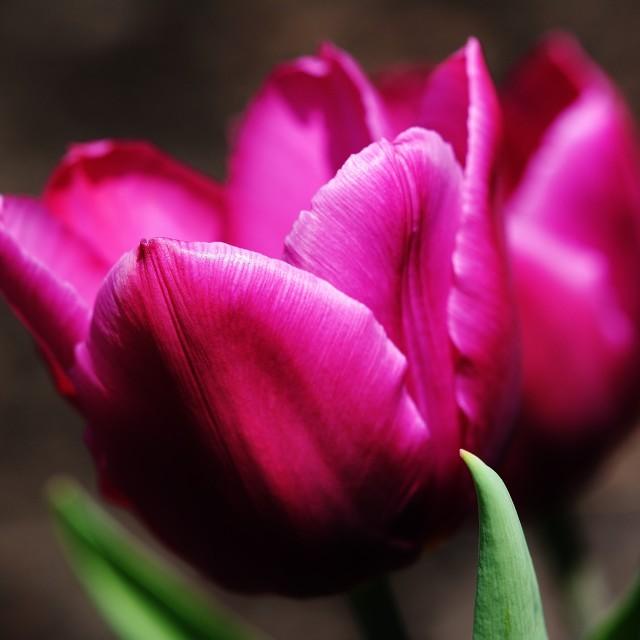 """Purple Tulips"" stock image"