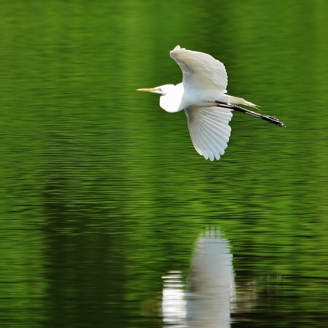 """White Egret"" stock image"