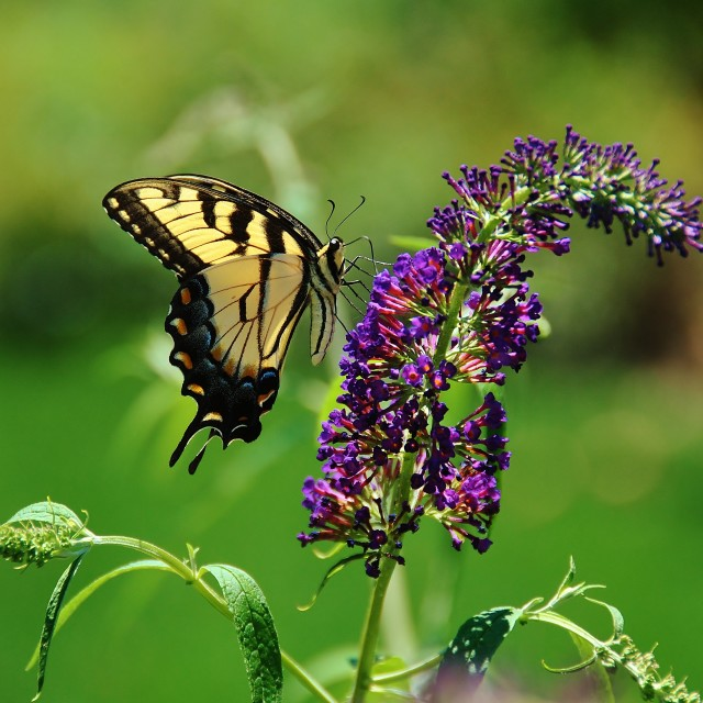 """Yellow Swallowtail Butterfly"" stock image"